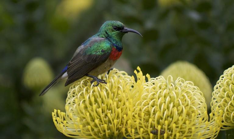 Sunbird on pincushion