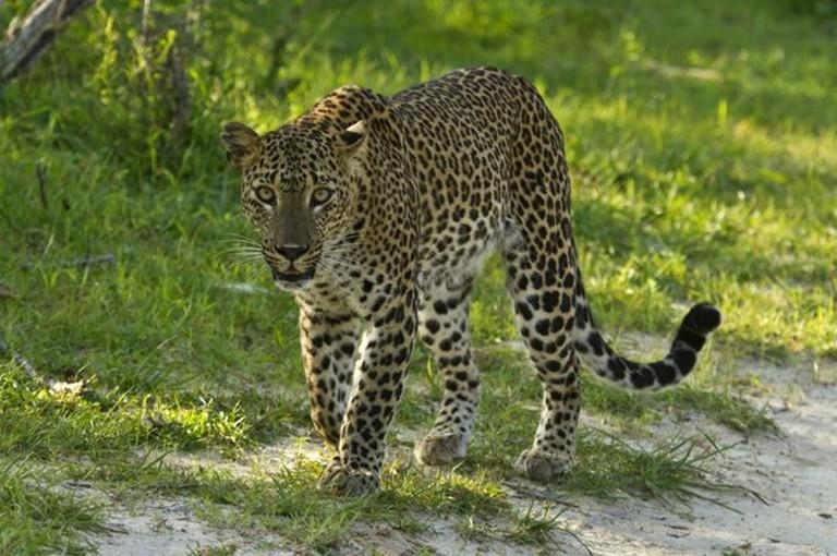 Leopard caught on camera at Yala National Park