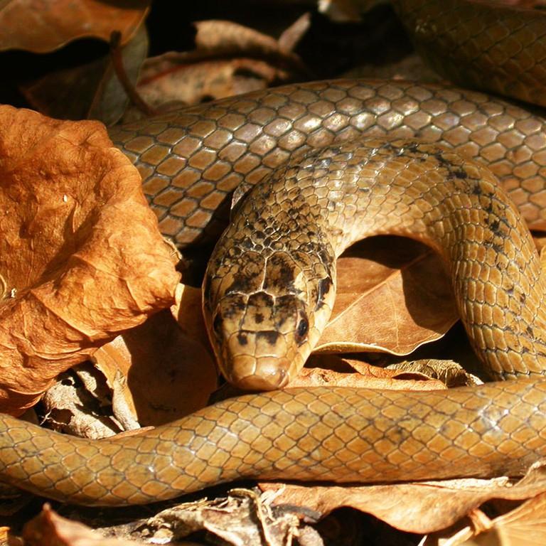 St. Lucia Racer Snake
