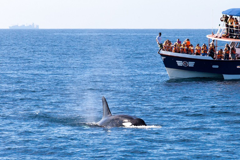 A killer whale saying hi to the whale watchers