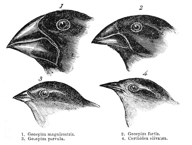 Darwin's finches | John Gould / Wikimedia Commons