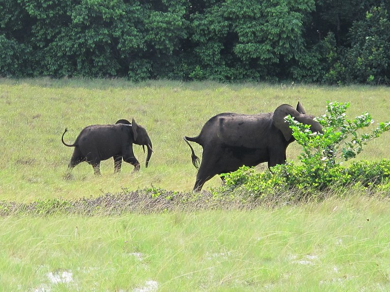 1200px-Gabon_Loango_National_Park_Elephant_with_offspring