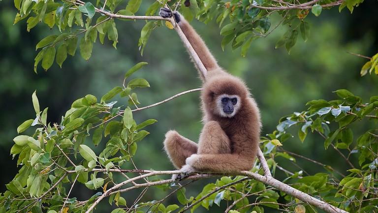 White-Handed Gibbon | © JJ Harrison/WikiCommons