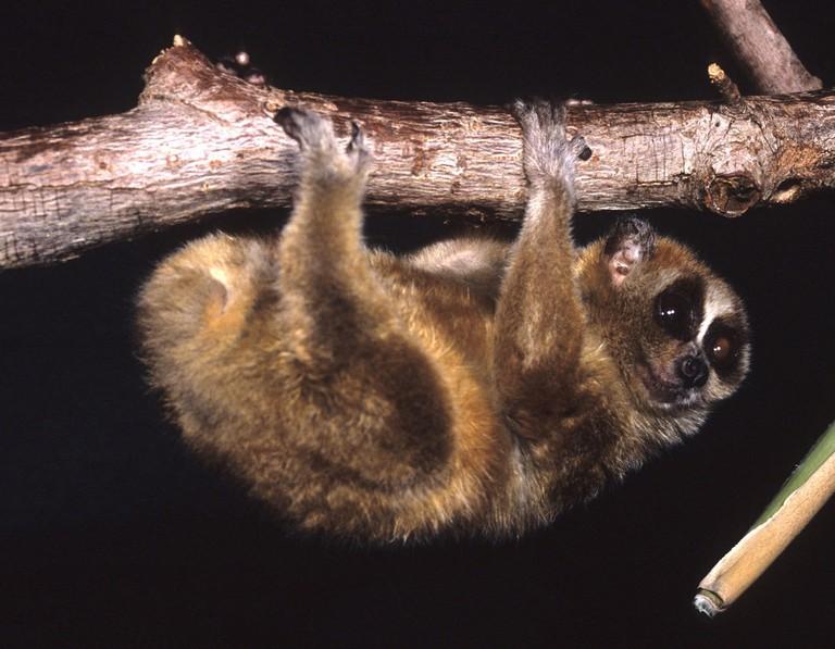 Pygmy Slow Loris at the Duke Lemur Center | © David Haring/WikiCommons