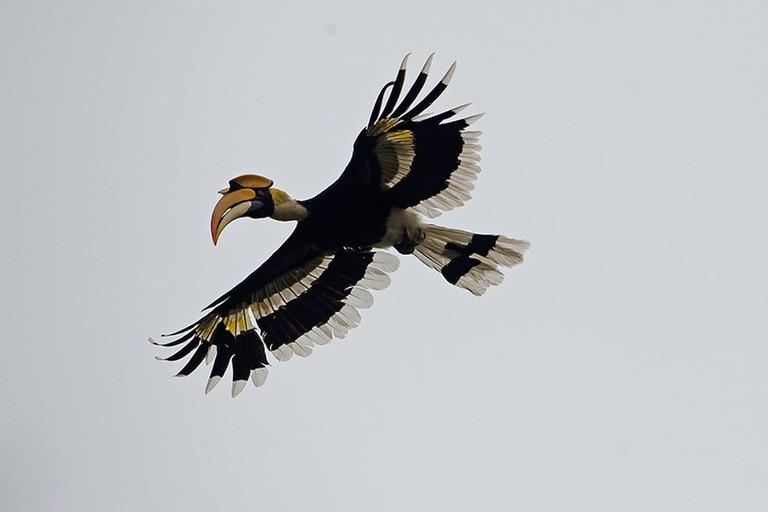 Great Hornbill in flight | © Koshy Koshy/Flickr