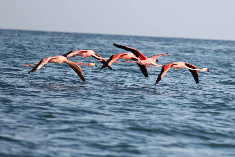 Holbox flamingos