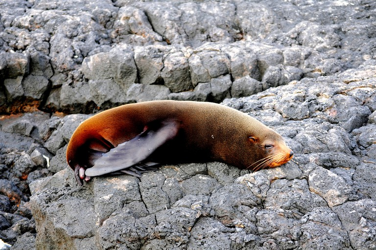 Fur seal on Santiago Island in the Galapagos Islands