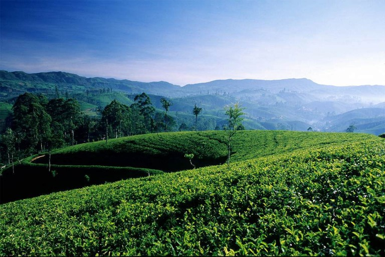 Rolling hills of tea plantations