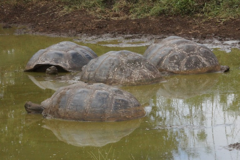 Galapagos Islands giant tortoises