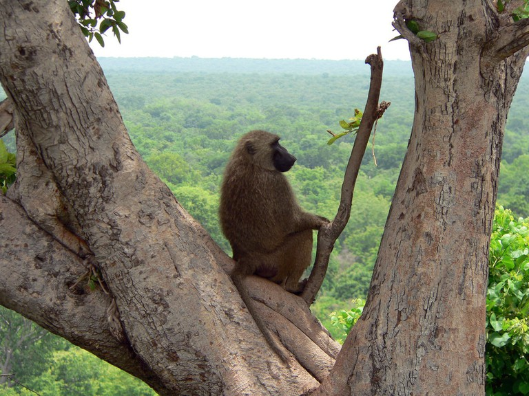 Baboon resting at Mole