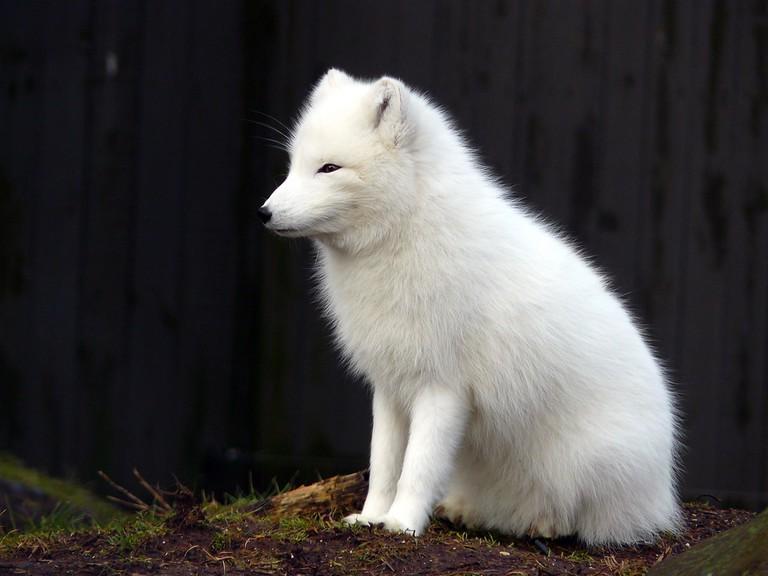 Arctic Fox   © Elizabeth Ellis/Flickr