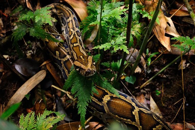 The impressive Burmese Python | © tontantravel/Flickr
