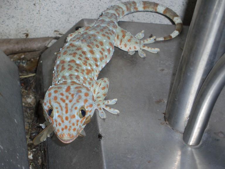 A gecko eating a bug