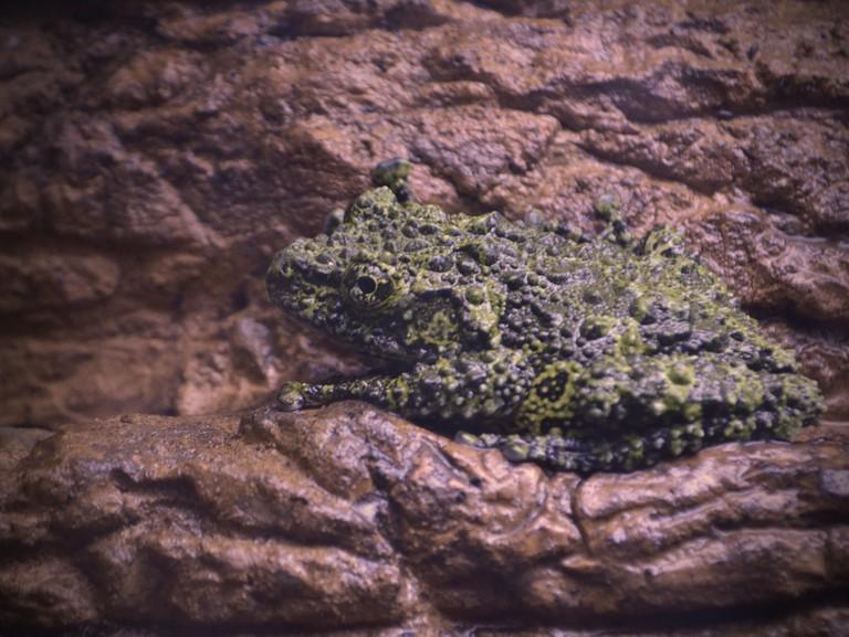 Vietnamese Mossy Frog | © Jo Naylor/Flickr