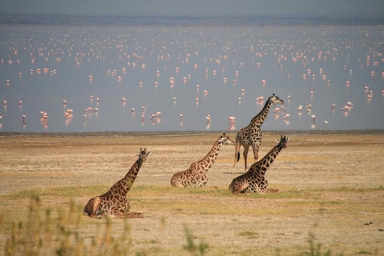 Giraffe and flamingo at Lake Manyara