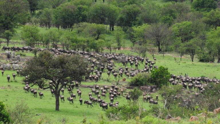 Migrating Wildebeest and Zebra