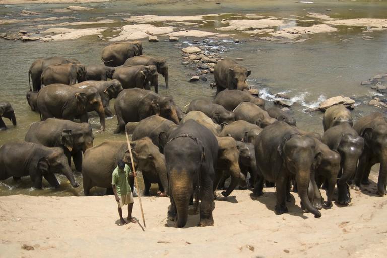 Elephants at Pinnawela elephant orphanage