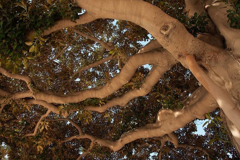 Giant ficus tree in Murcia, Spain