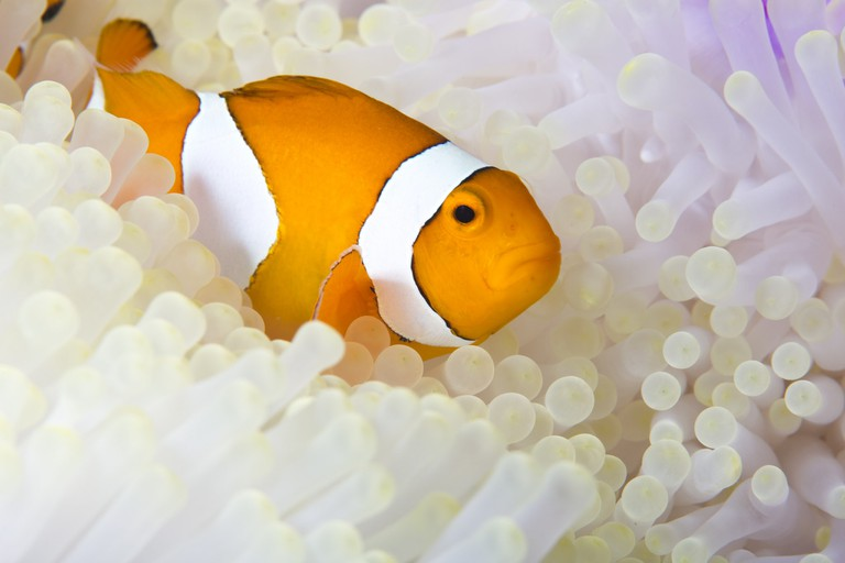 A clownfish and anemone in Raja Ampat