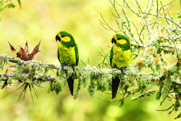 A beautiful pair of yellow-eared parrots|