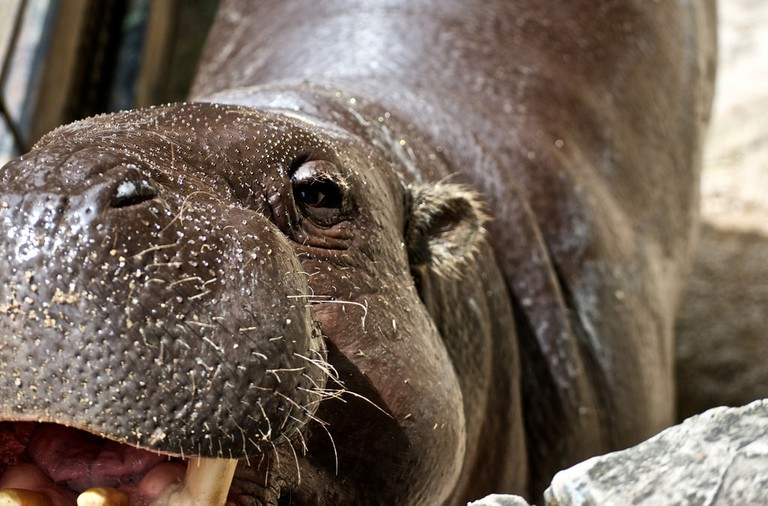 A baby hippo at Khao Kheow Open Zoo