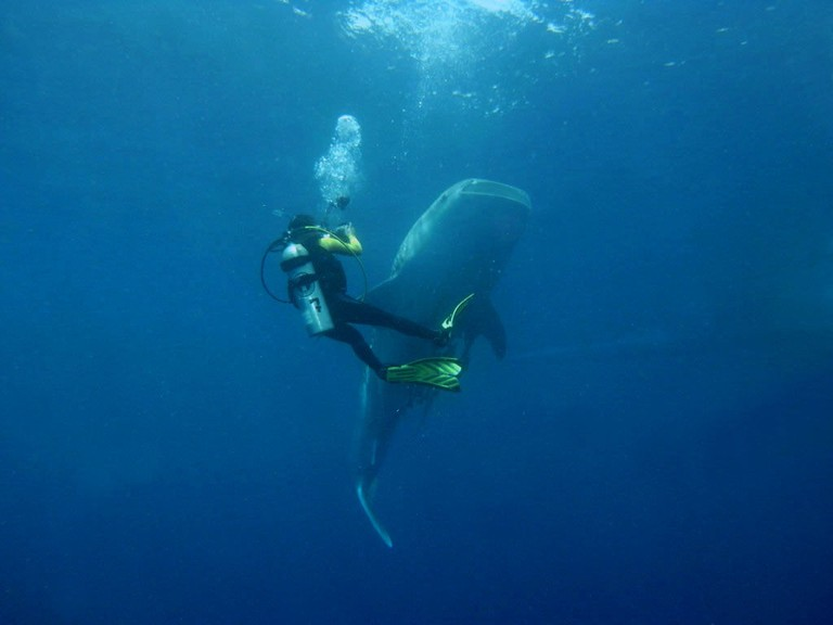 Diving with whale shark in Indonesia