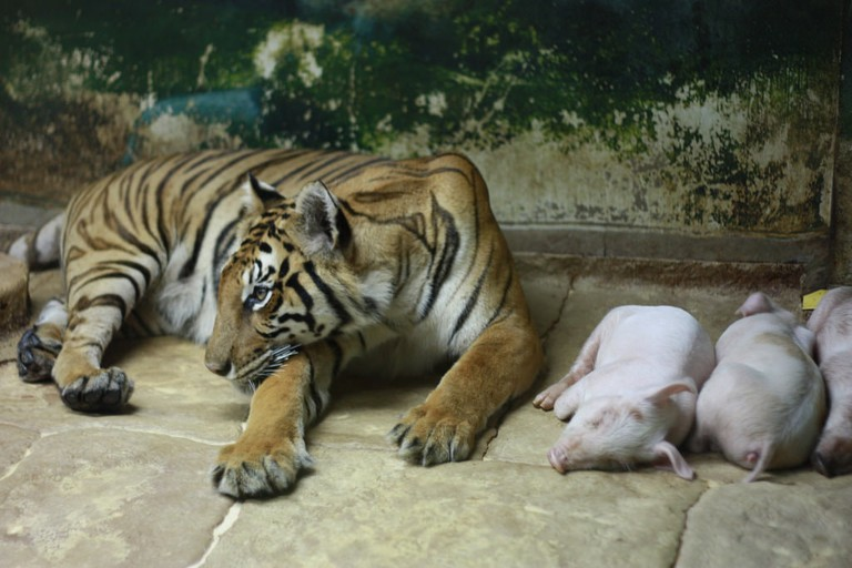 Tiger and pigs, living together in harmony