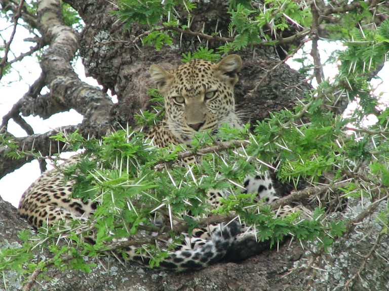 Leopard in the Serengeti National Park