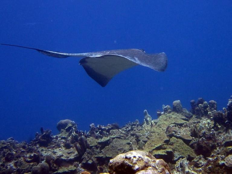 Stingray, Jamaica