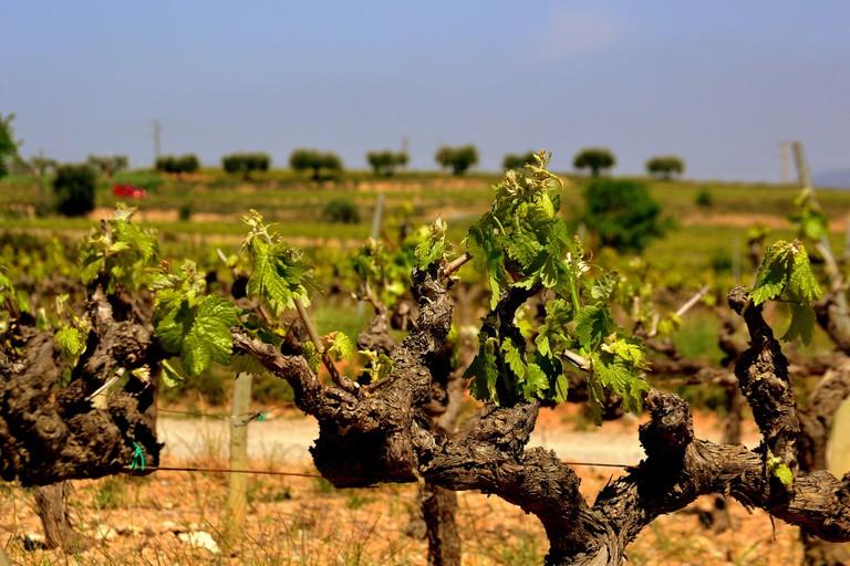 Cava vineyards © Angela Llop / Flickr