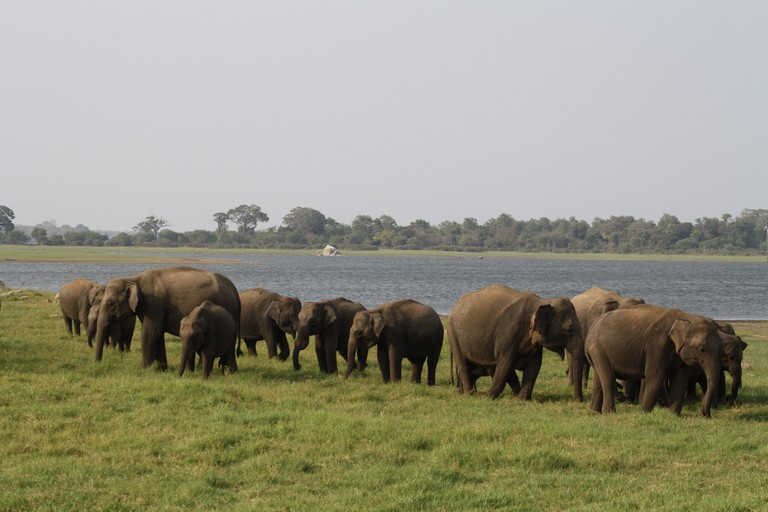 Wild elephants strolling along Minneriya Lake