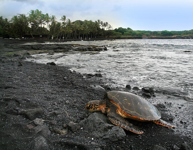 772px-Green_turtle_Chelonia_mydas_is_basking_on_Punaluu_Beach_Big_Island_of_Hawaii