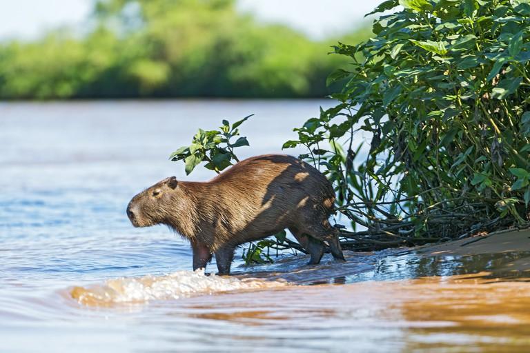 Capybara at the water