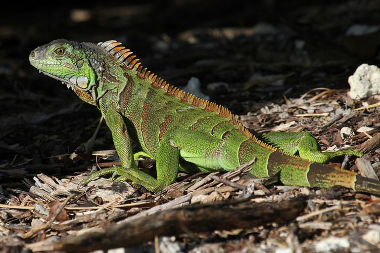 A green iguana in the woods