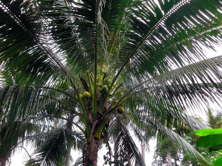Coconut Tree | © Dezalb/Pixabay