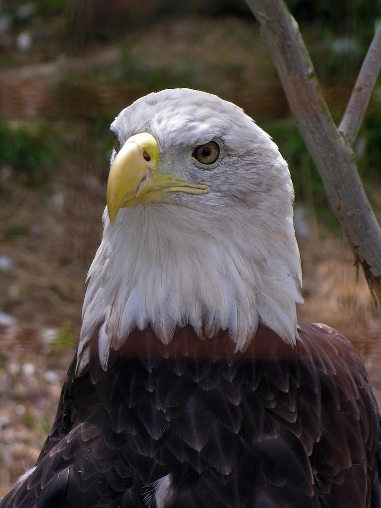 Bald Eagle at Shubenacadie Wildlife Park