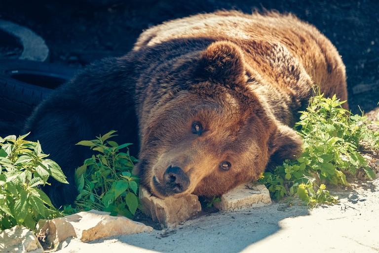 Bear in Riga Zoo