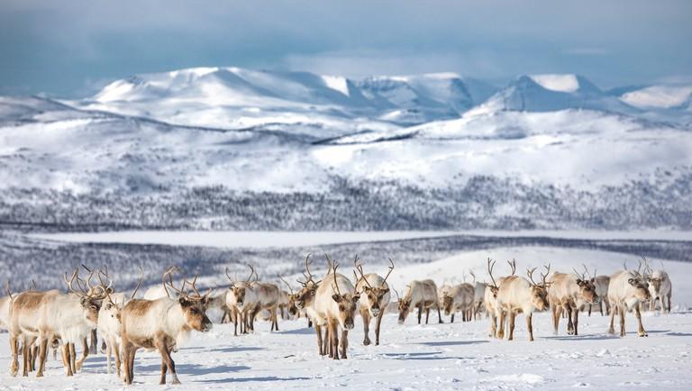Lapland reindeer | © Tiina Törmänen