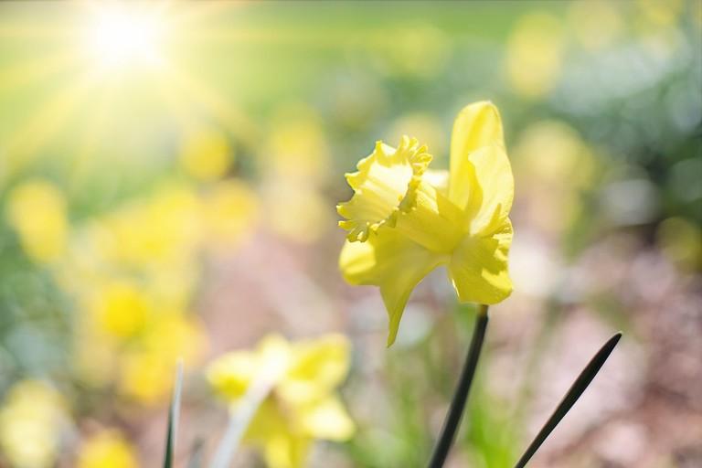 daffodil-1358940_1280