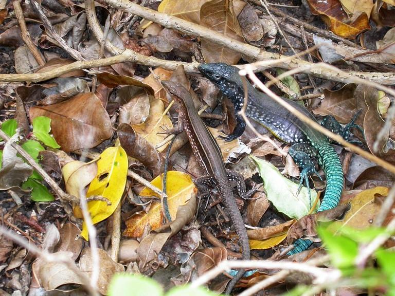St. Lucia Whiptail Lizard