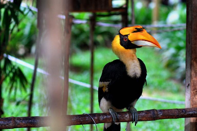 Various of hornbill species are found in Taman Negara