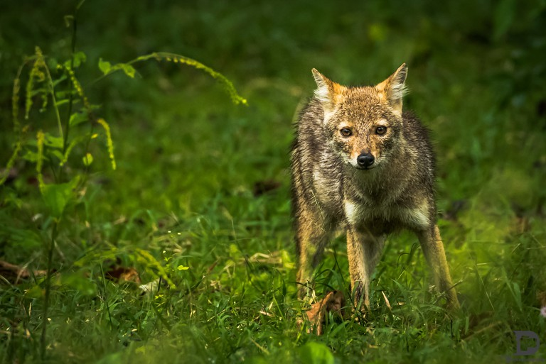 Indian_Jackal_at_Nagarhole-2