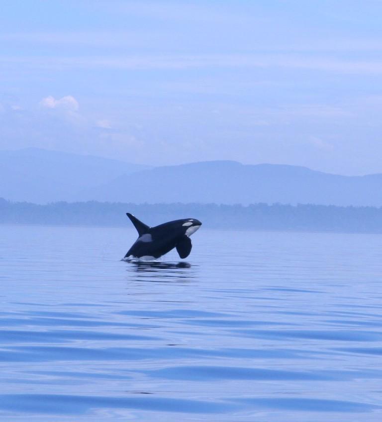 An orca whale   © Kim / Flickr