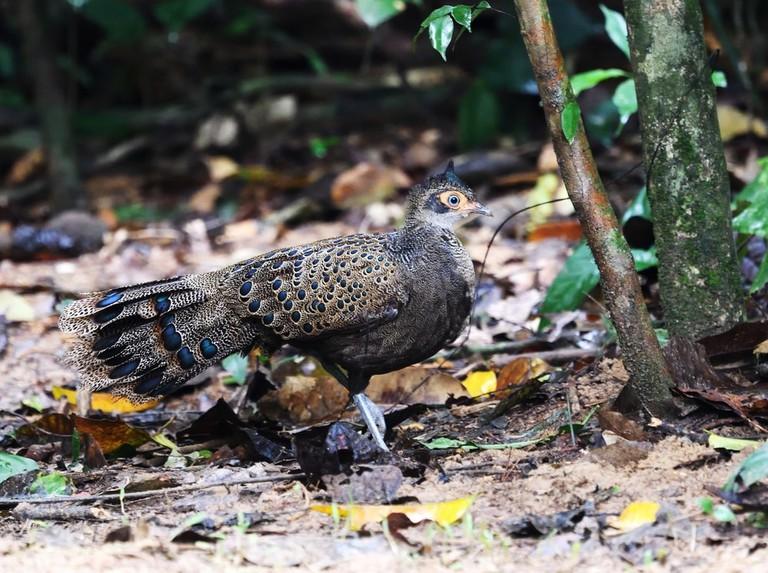 Peacock Pheasant in Malaysia