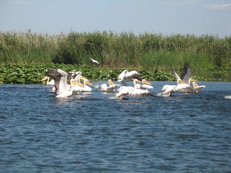 Pelicans in Danube Delta