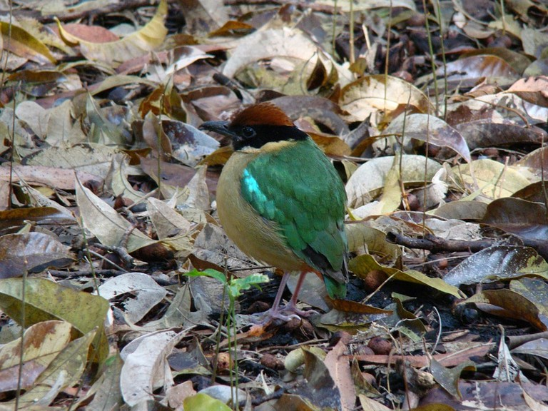 Keep your eyes out for Pitta while birdwatching in Taman Negara