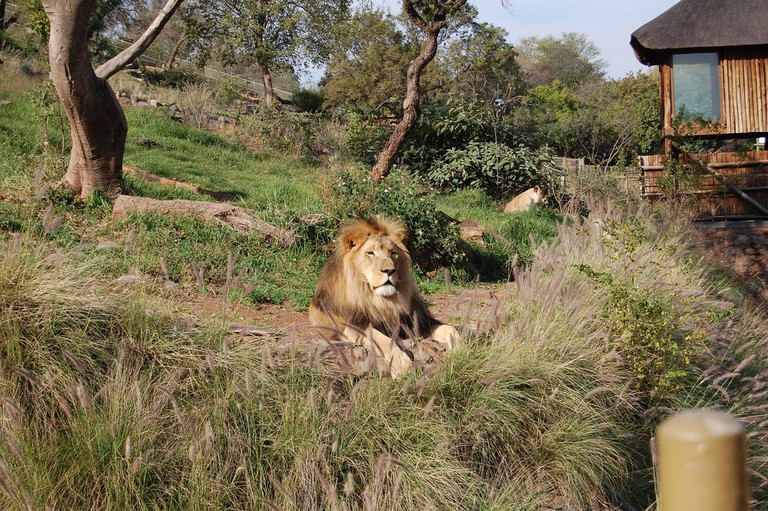 A lion at the Zoo