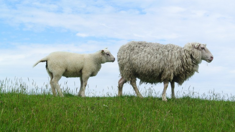 Sheep on Texel