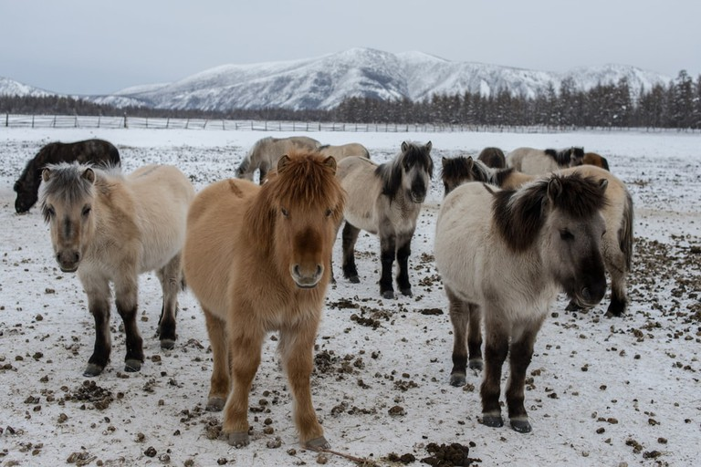 Horses native to the area, which have very thick coats to survive