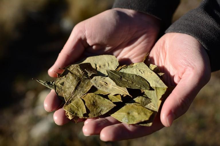 Coca leaves | © Pavel Svoboda Photography/Shutterstock